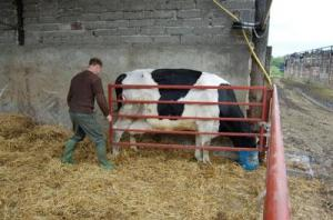 Easy way to catch cow for calving
