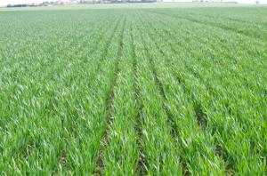 No-till winter wheat trial comparison