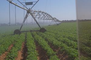 Zambian farm irrigating potatoes