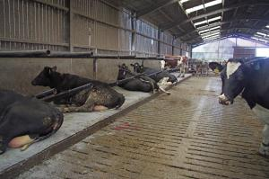Farmer designed cow cubicles stop cows getting jammed, stuck